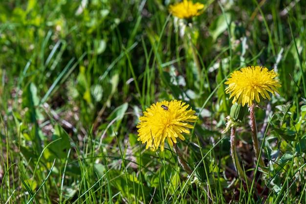 Cena da mola da natureza com primavera das flores do dente-de-leão.