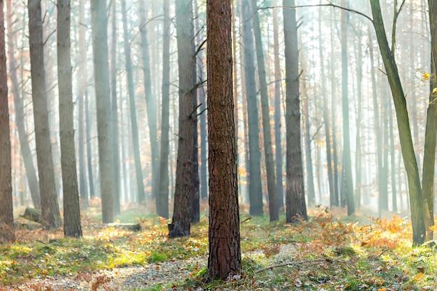 Cena de floresta de outono com raios de luz por entre as árvores