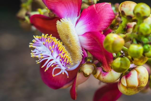 Cena de natureza de closeup couroupita guianensis ou sal flor ou flor de árvore de bala de canhão