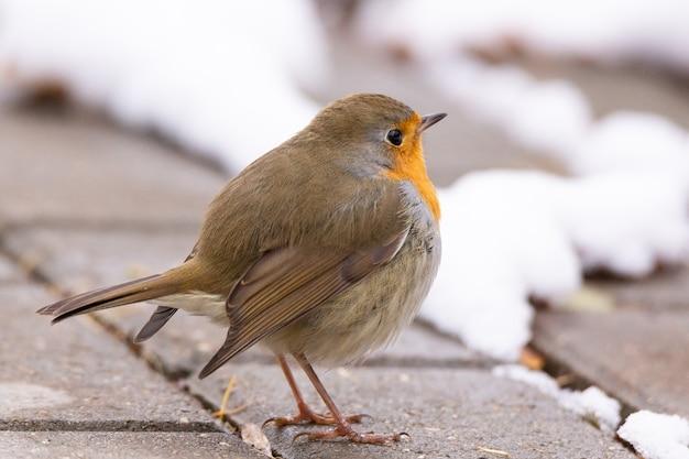 Cena de neve de peito vermelho de robin