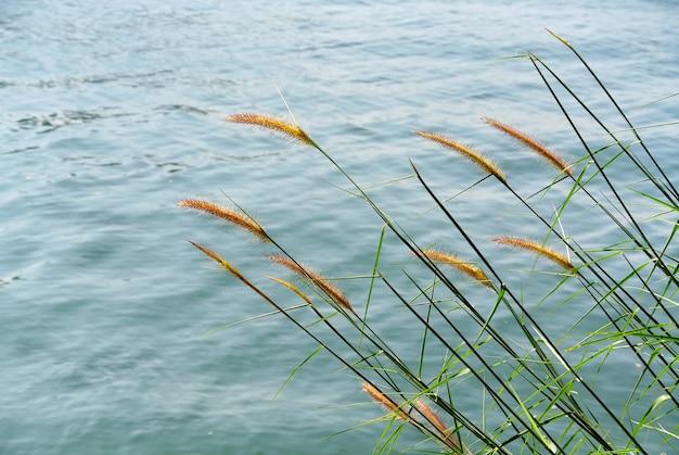 Cena de tranquilidade de gramíneas de palea no vento pelo mar
