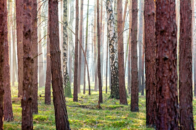 Cena misteriosa de floresta de outono com os raios de luz mágicos entre os galhos verdes das árvores