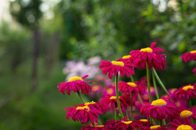 Cena natural de primavera ou verão com margaridas rosa florescendo no brilho do sol