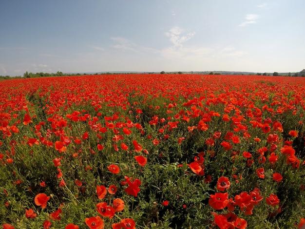 Cena pitoresca. feche flores frescas e vermelhas de papoula no campo verde, à luz do sol. majestosa paisagem rural.