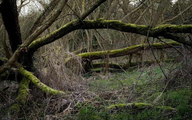 Cenário assustador em uma floresta com galhos secos de árvores cobertos de musgo