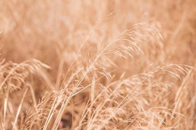 Cenário autumun com um campo de trigo