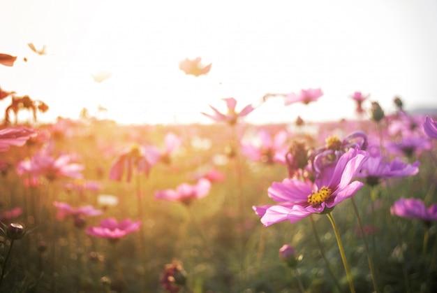 Cenário de closeup cosmos flores e luz solar natural