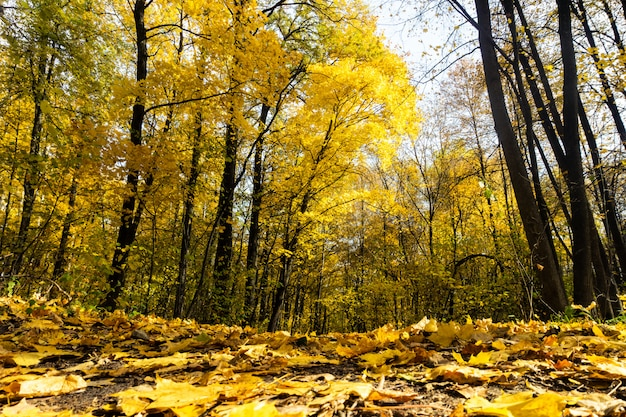 Cenário de floresta de outono com raios de luz quente iluminando a folhagem dourada
