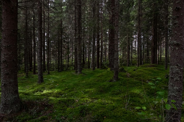 Cenário de uma floresta cheia de árvores altas, tocando o céu