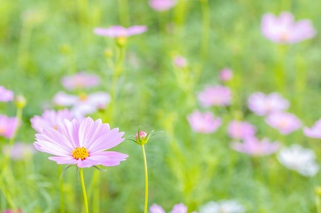 Cenário do contexto da flor, cosmos cor-de-rosa.