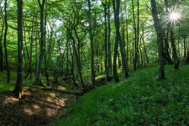 Cenário do sol brilhando sobre uma floresta verde cheia de árvores altas e outras plantas