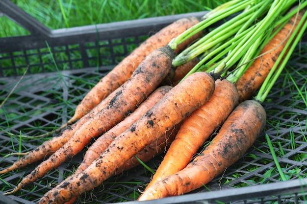 Cenoura. um monte de cenouras sujas encontra-se em uma caixa de plástico preta na grama no jardim. a colheita no outono