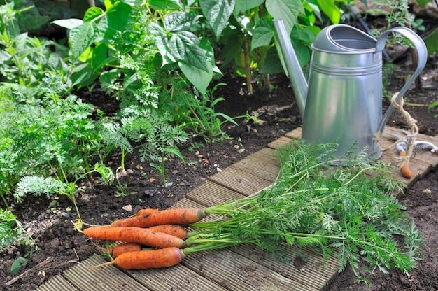 Cenouras de frescura no jardim