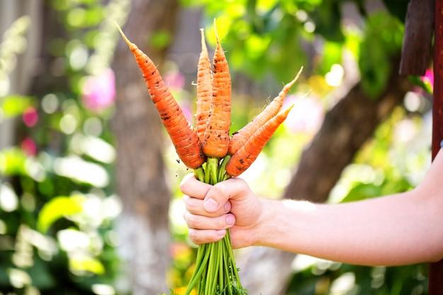 Cenouras em mãos do agricultor closeup