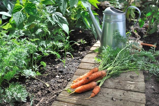 Cenouras frescas colhidas em uma horta