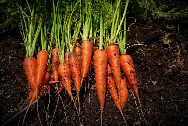 Cenouras frescas colhidas na herdade