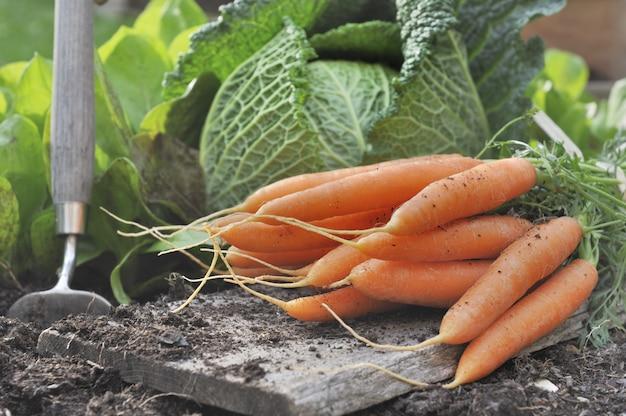 Cenouras frescas no jardim