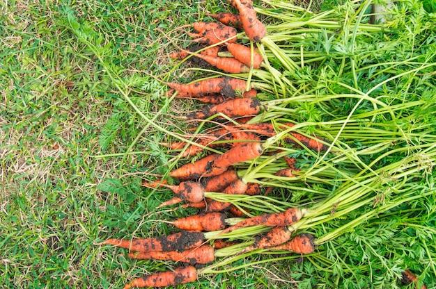 Cenouras recém-cavadas com terra e copas estão deitadas na grama verde, conceito de colheita, banner