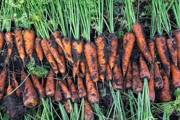Cenouras recém colhidas em uma horta orgânica, colheita no outono
