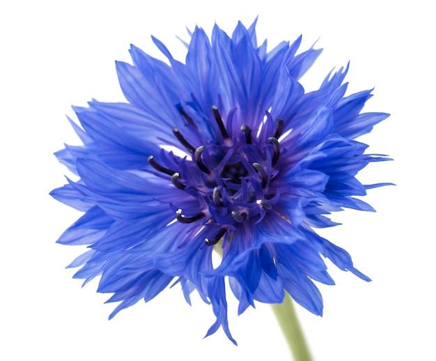 Centáurea azul bonita