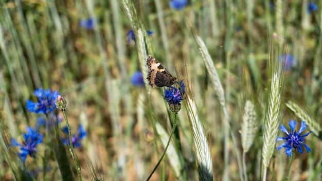 Centáurea azul com borboleta no campo em um dia quente de verão