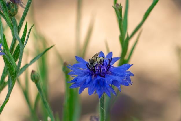 Centáurea azul em um prado, uma abelha coleta néctar de uma flor
