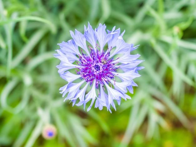 Centáurea azul no jardim
