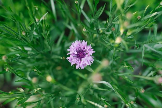 Centáurea flor lilás no jardim no verão