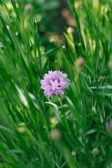 Centáurea lilás no jardim no verão