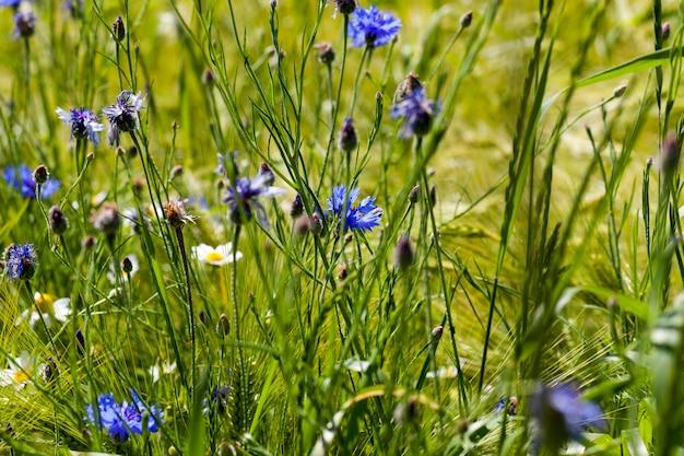 Centáureas azuis crescendo em um campo agrícola, centáureas azuis no verão