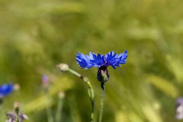 Centáureas azuis no verão