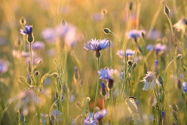 Centáureas no campo durante o nascer do sol