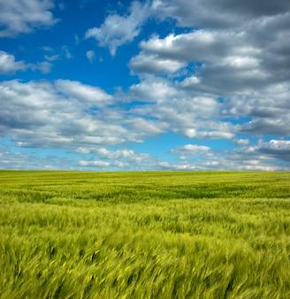 Centeio closeup no campo da agricultura com céu azul nublado