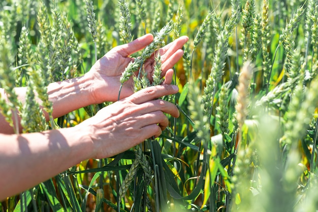 Centeio verde está amadurecendo, agricultor mão no pôr do sol