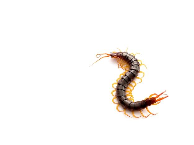 Centopéia marrom no fundo branco