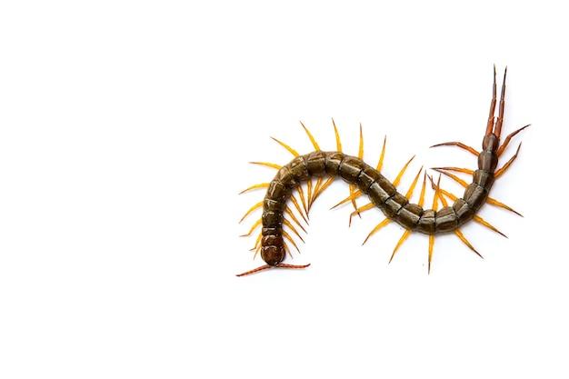 Centopéia na frente de fundo branco, worm
