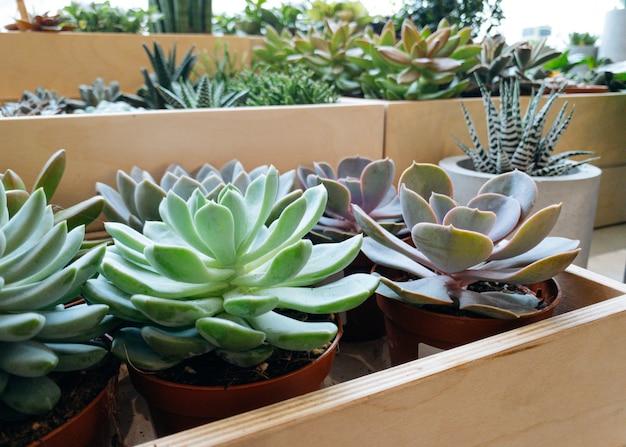 Centros de mesa arranjo de planta suculenta echeveria verde pastel em plantador de madeira cacto plan ...