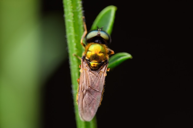 Centurião largo (chloromyia formosa) é uma espécie de mosca-soldado pertencente à família stratiomyidae.