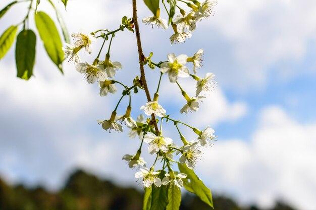 Cerasoides brancos do prunus