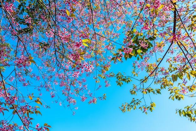 Cerasoides do prunus da flor da cereja ou cereja himalaia selvagem, flor do tigre gigante em phu lom lo, phetchaboon, tailândia.