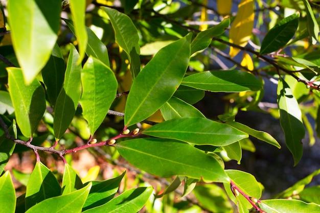 Cerca de laurel bush crescendo em um close-up de jardim na primavera