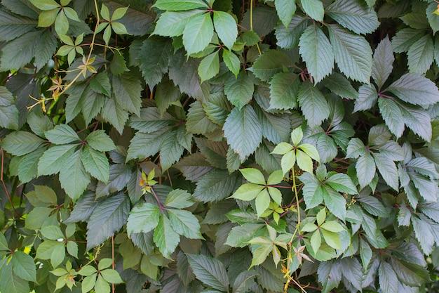 Cerca verde das folhas de uvas femininas.