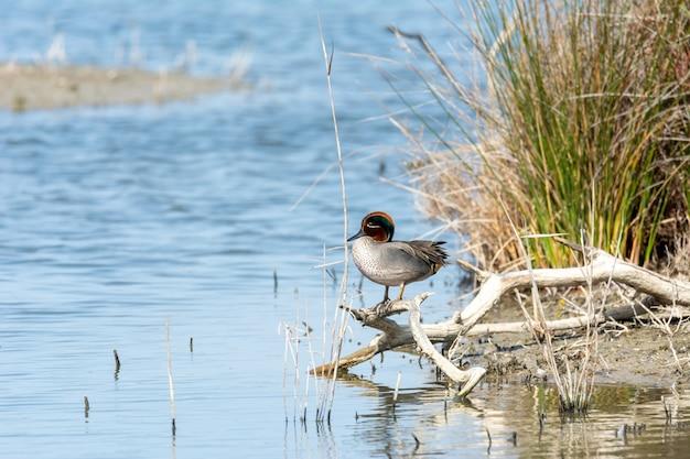 Cerceta comun de teal-winged teal (anas crecca), em estado selvagem, empoleirada em um braço na margem de um lago salgado, no parque natural, la albufera, mallorca