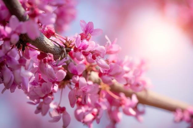 Cercis canadensis carmesim canadense, macro de flores cor de rosa,