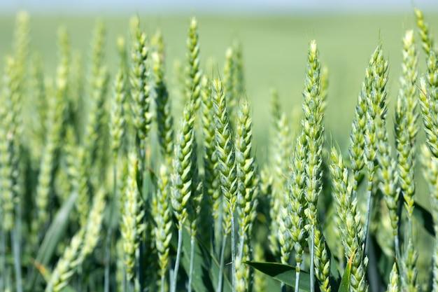 Cereais crescem no campo