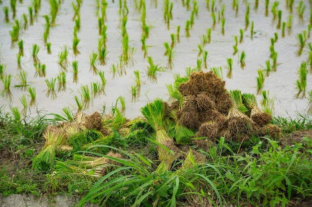 Cereal com campo de planta verde de arroz na