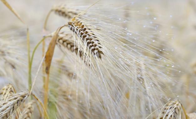 Cereal em um campo coberto com gotas no verão