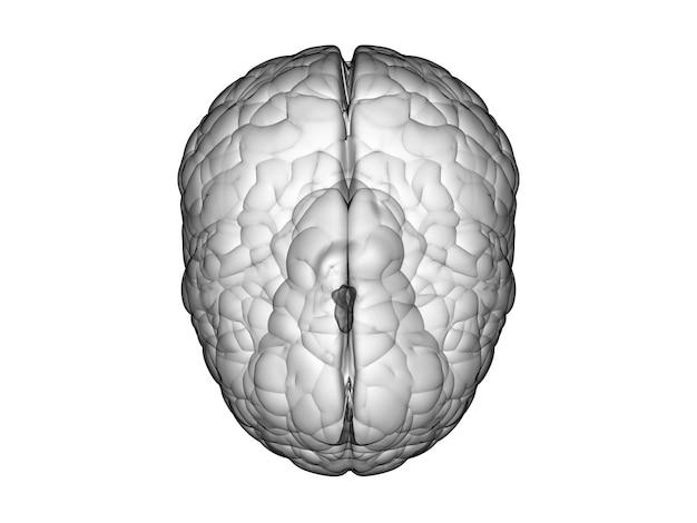 Cérebro branco de renderização 3d em fundo branco