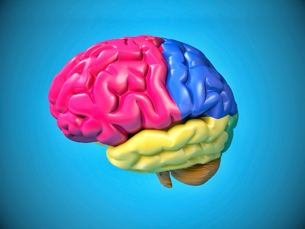 Cérebro humano colorido