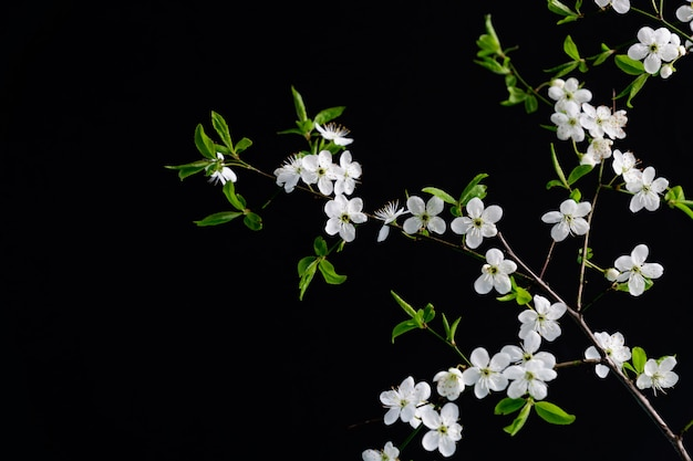 Cereja branca florescendo flores sobre fundo preto, com espaço de cópia